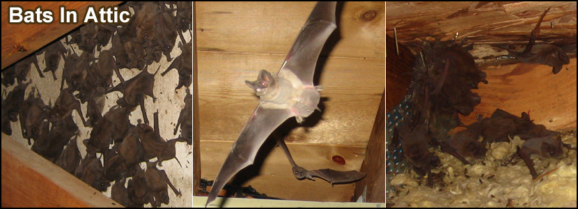 Syracuse Bat Removal New York Bat Control Company