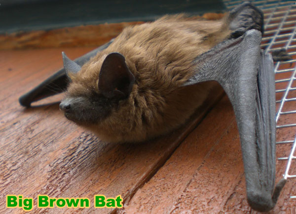 Are Bats Blind How Well Can Bats See