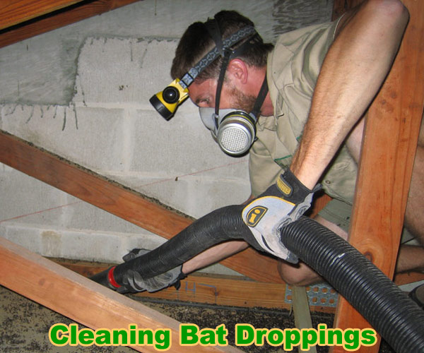 How To Clean Up Bat Guano Inside Of an Attic