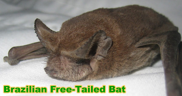 Mexican Free-tailed Bats In the Attic: Species Tadarida brasiliensis