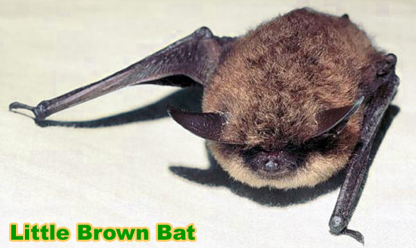 What Kind Of Bat It This Yahoo Answers
