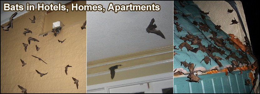 Bats In The Attic How To Safely And