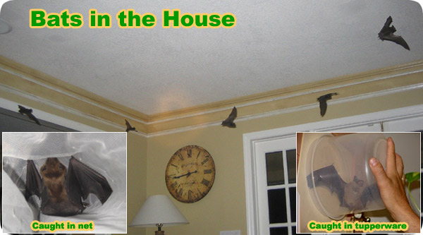 how to catch a bat flying around inside your house. Black Bedroom Furniture Sets. Home Design Ideas