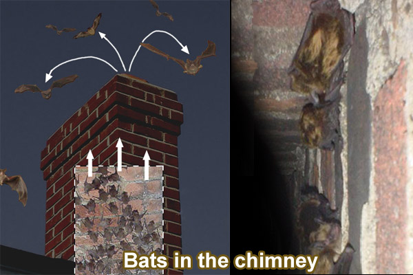 how to remove bats from the chimney