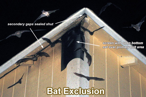 Bat Exclusion Process Step By Step