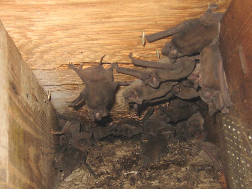 Bat Photograph Part Of A Smaller Group Of Bats